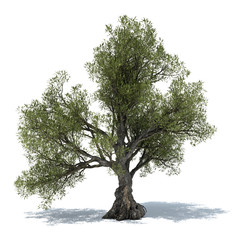 pestovanie olivovnika