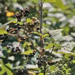 návod ako správne pestovať čierne ríbizle