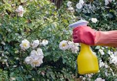 starostlivosť o ruže s postrekmi