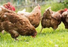 Ako chovať sliepky