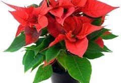 Ako pestovať Prýštec (vianočnú ružu)