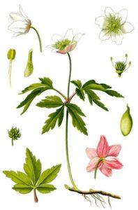 Kvet veternice