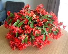 návod ako správne pestovať veľkonočný kaktus v byte