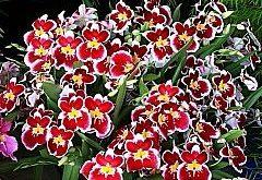 Ako pestovať dendróbium nobile?