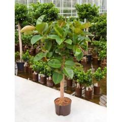 figovník pestovanie