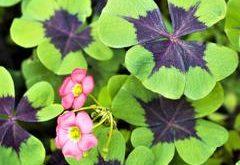 Ako pestovať oxalis?