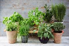 ako pestovať bylinky v kvetináčoch