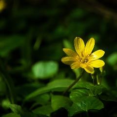 májové bylinky blyskač jarný