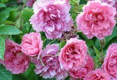 ružové plátky