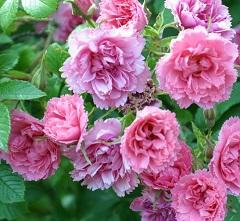 ružové lupienky