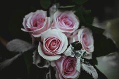 sadenie a vyberanie rúži do záhrady