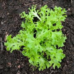 záhon zeleninový