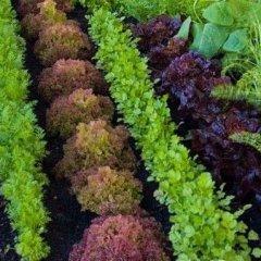 zeleninový záhon