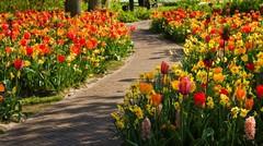 Ako vysadzať narcisy a tulipány