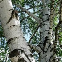 ako brezu previsnutú využiť