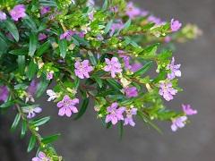 kvety myrty japonskej