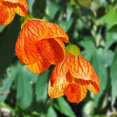 kvety podslnečníka
