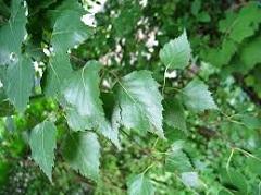 listy brezy previsnutej
