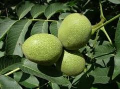 plody vlašského orecha
