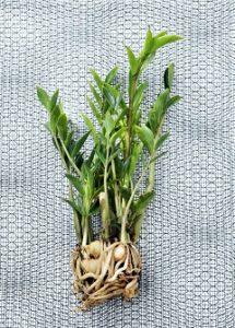 rastlina zamiokulkas