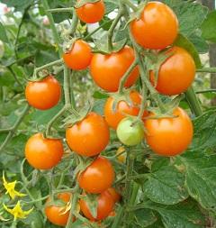 ako urýchliť dozrievanie paradajok