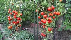 celá rastlina paradajky